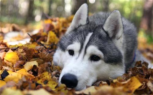 狗狗绝育之后会恨主人吗?