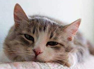 猫绝育后多久可以吃东西?