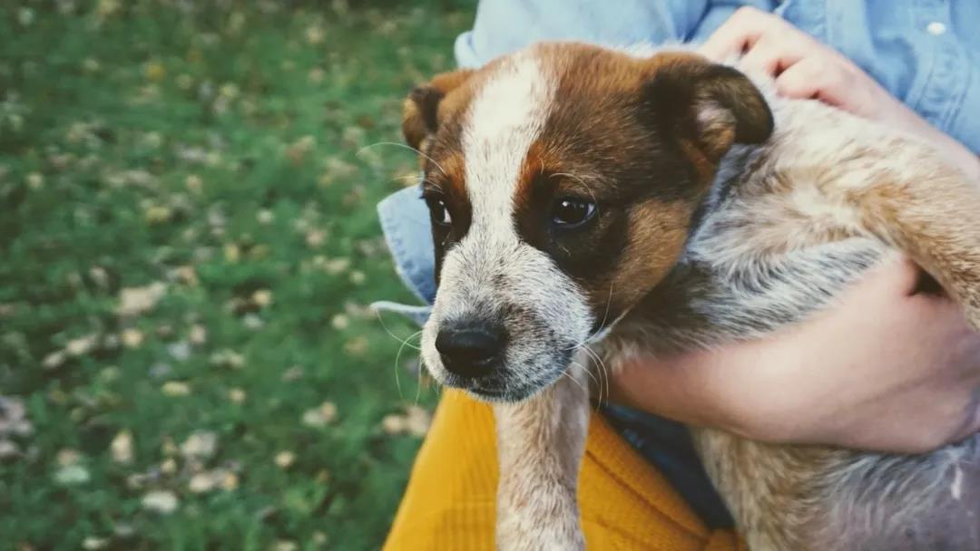 大陆权威专家团队临床研究证实宠物犬尚未发现新冠病毒感染!