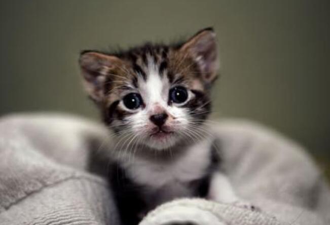小猫多大可以吃猫粮?
