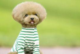 泰迪狗怎么养