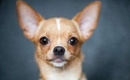 吉娃娃狗好养吗?