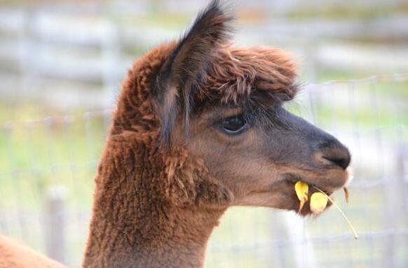羊驼吃什么