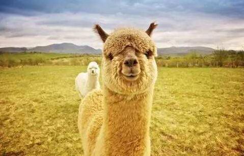 养羊驼犯法吗?