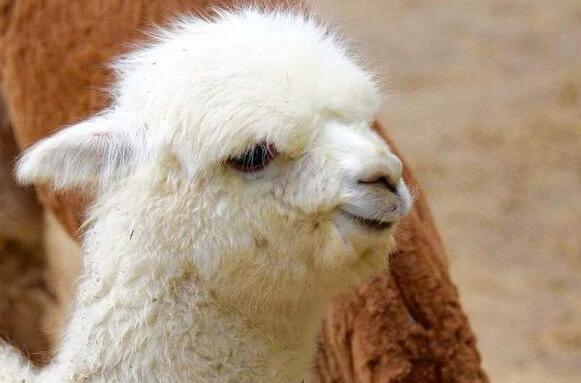 羊驼好养吗