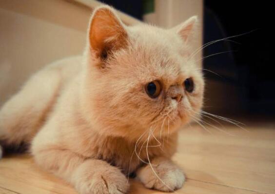 加菲猫为什么不能养