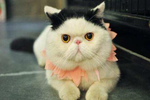 加菲猫好养吗