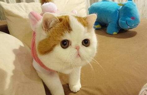 加菲猫怎么养