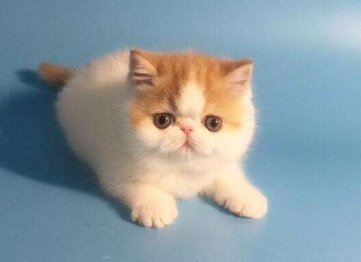 养加菲猫一个月成本