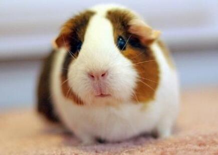 荷兰猪怎么养