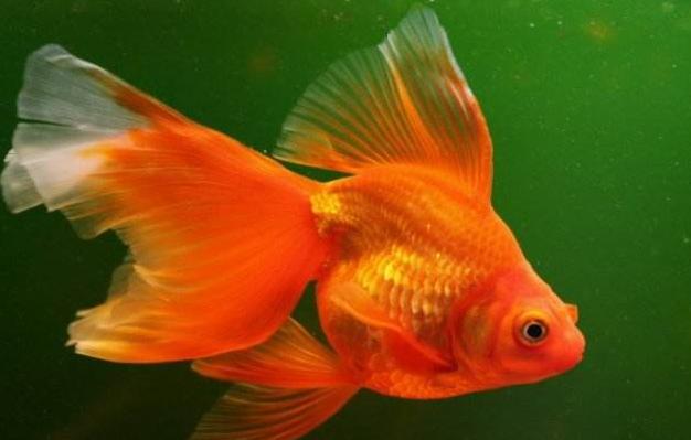 金鱼吃什么