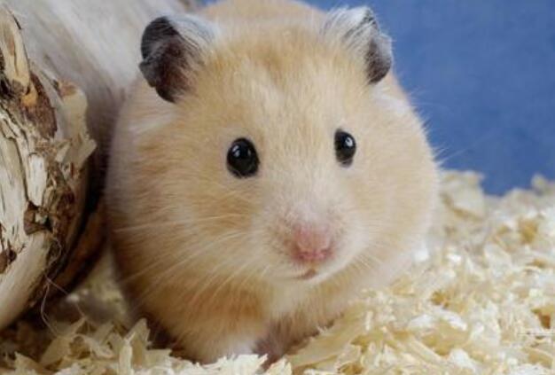 仓鼠好养吗