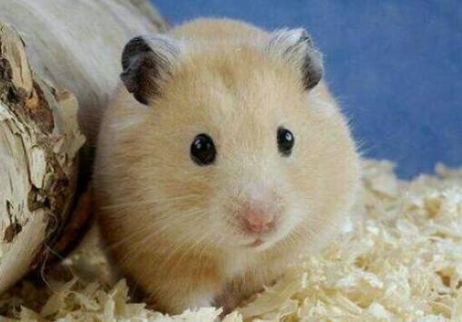仓鼠不能吃什么