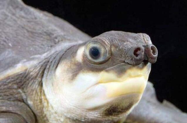 猪鼻龟怎么养