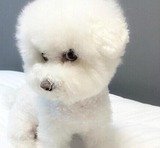和泰迪很像的狗是什么狗
