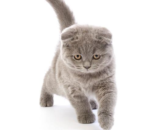 灰色的猫咪是什么品种