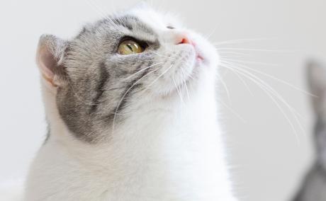 公猫绝育是割掉蛋蛋吗