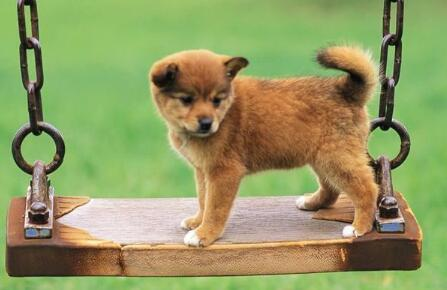 小狗得了细小能活几天