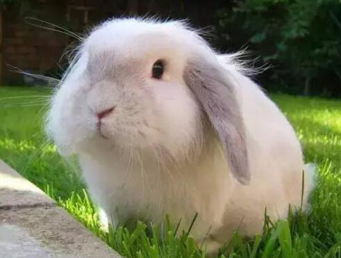 兔子耳朵的特点和作用