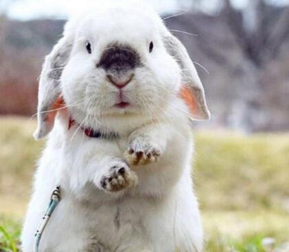 兔子的耳朵有什么特点