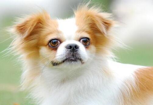 银狐犬价格多少钱一只