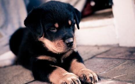 养罗威纳犬的七大禁忌