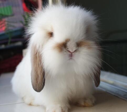 垂耳兔多少钱一只