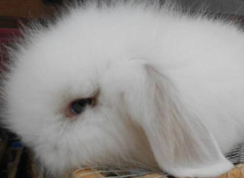 美国长毛垂耳兔多少钱一只