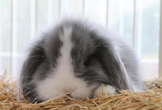 美国长毛垂耳兔价格