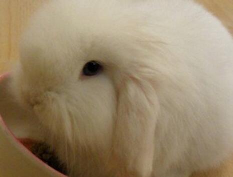 美国长毛垂耳兔吃什么