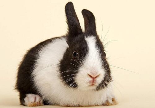 荷兰兔多少钱一只