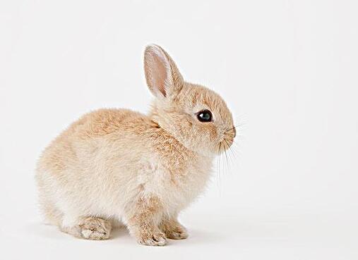 侏儒兔一般多少钱一只