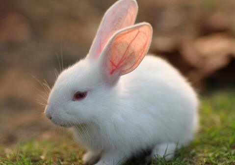海棠兔怎么养