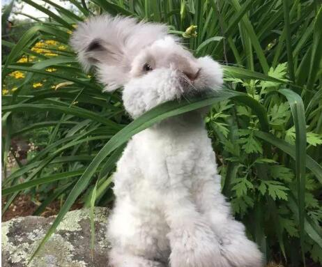 安哥拉兔多少钱一只