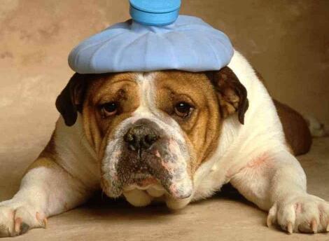 狗狗发烧摸哪里