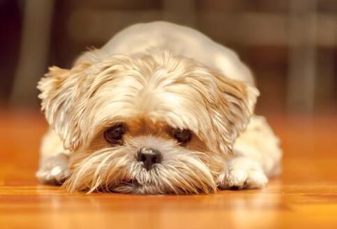 狗狗发烧能自愈吗