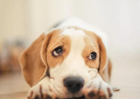 狗为什么知道自己快死