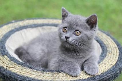 蓝猫养多久认识主人